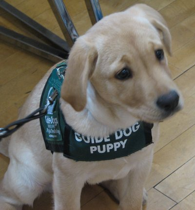 Guide-dog-puppy